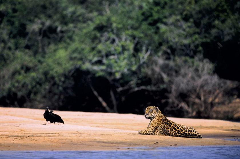 Brésil - Pantanal - Barra Mansa - Jaguar