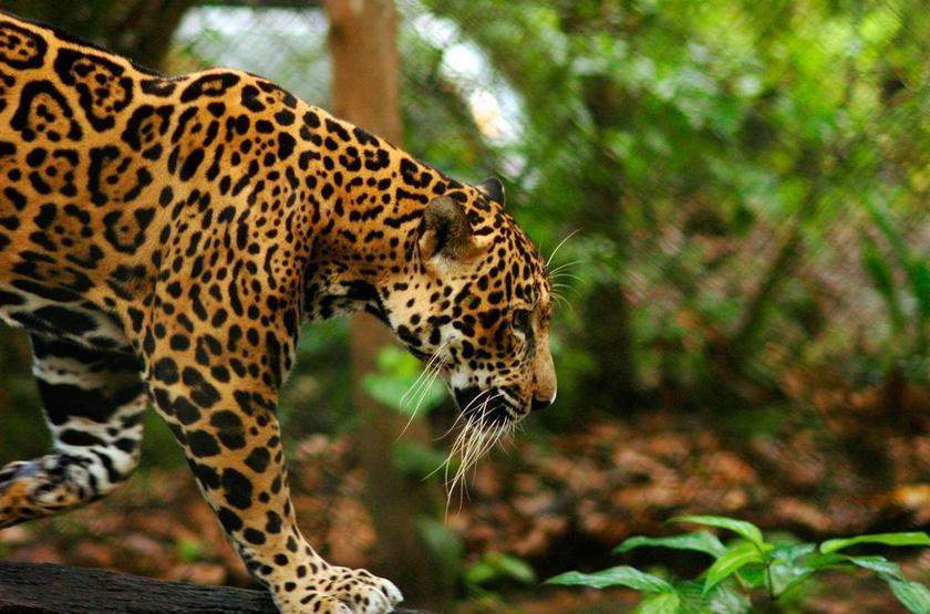 Chaa Creek Lodge, San Ignacio, Belize, faune dans la réserve