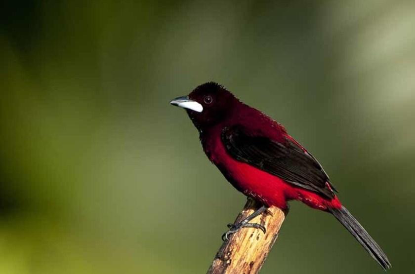 Tangara à dos rouge, Parc National de Soberania, Panama