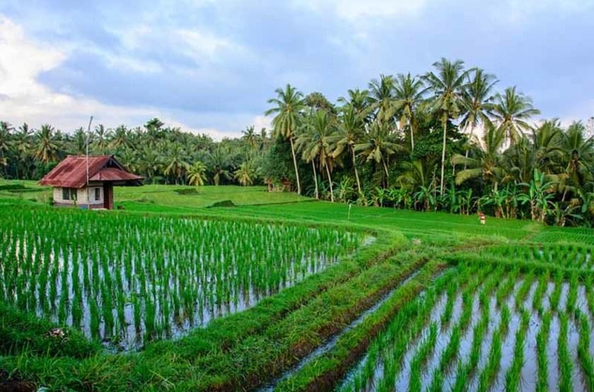Rizières, Ubud, Indonésie