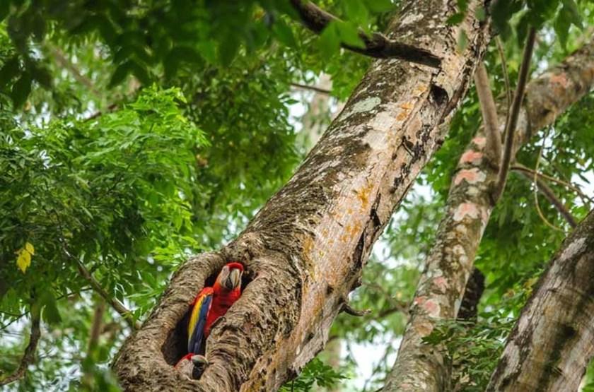 Ara Chloroptère, Puerto Jimenez, Costa Rica