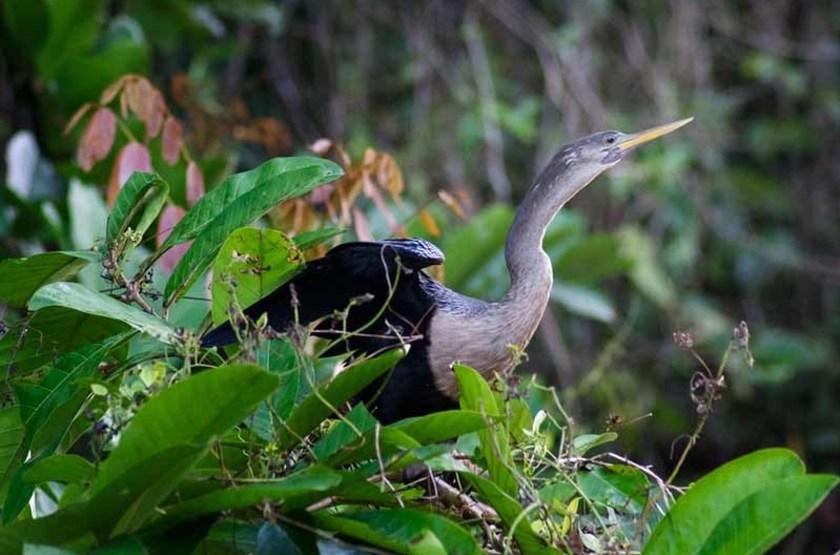 Anhinga, Parc National de Tortuguero, Costa Rica