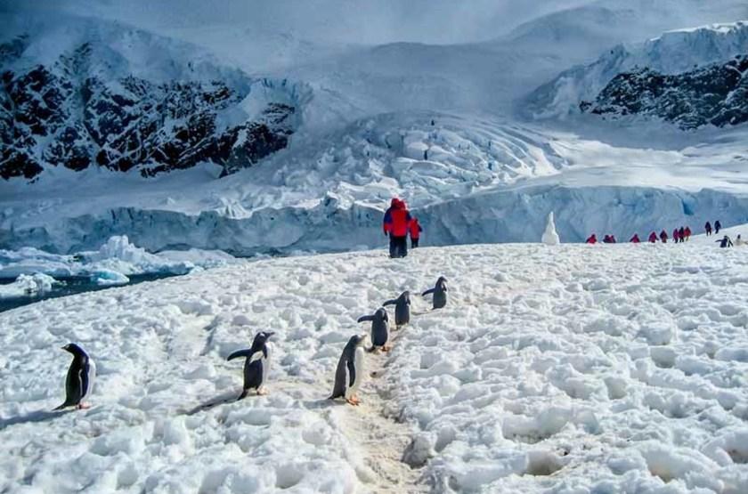 Manchots Papous, Antarctique