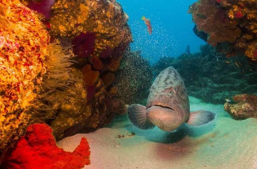 Mycteroperca dans les eaux du Parc National Cabo Pulmo, Mexique