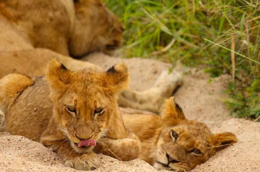 Lions, réserve de Sabi Sand, Afrique du Sud