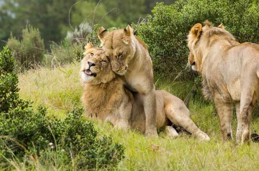 Lions de la réserve de Gondwana, Afrique du Sud
