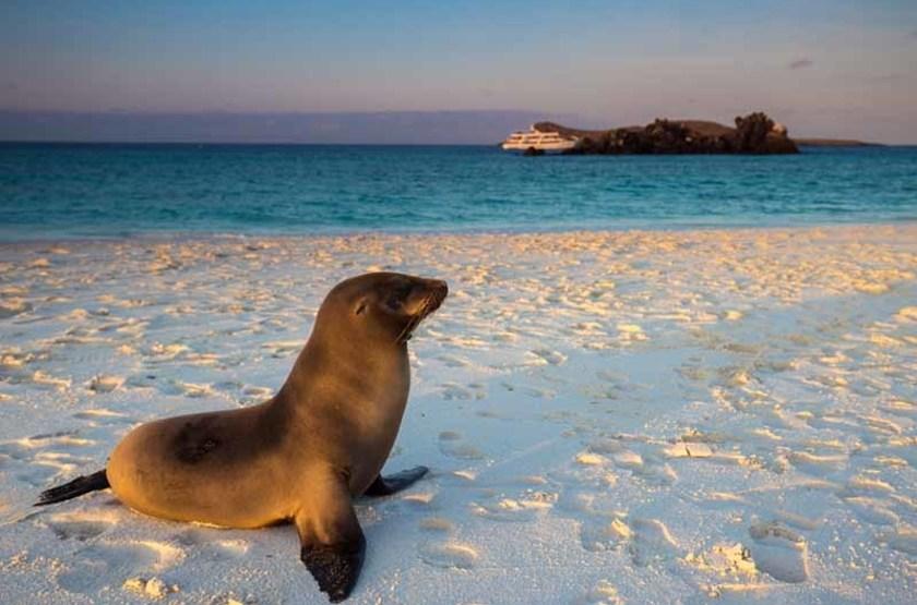 Otarie, Îles Galapagos