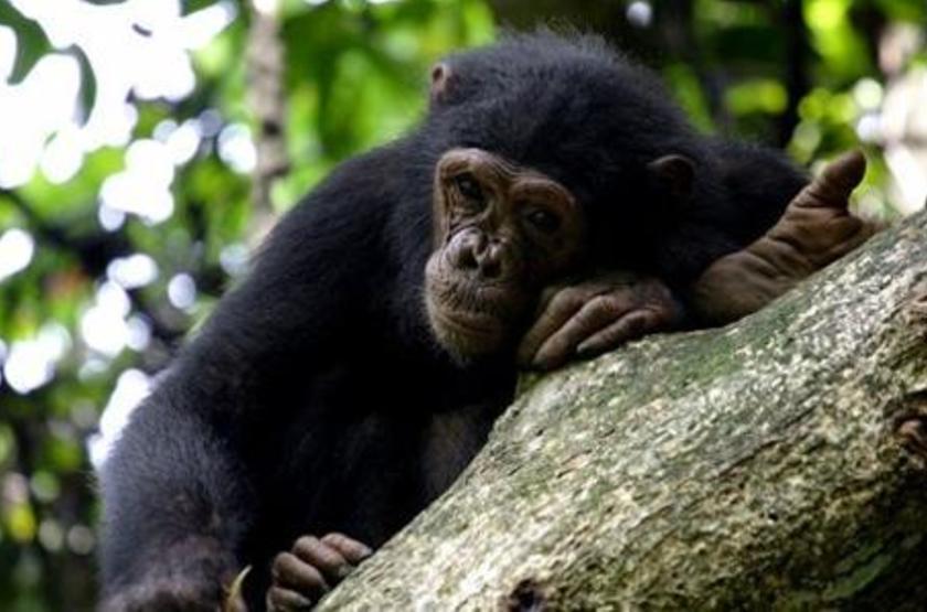 Chimpanzés à Mahale, Tanzanie