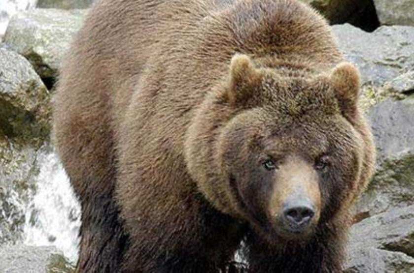 Etats-Unis - Parc National Yellowstone - Grizzly