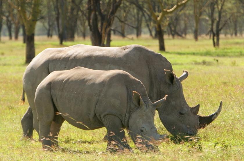 Kenya, Masai Mara, rhinocéros