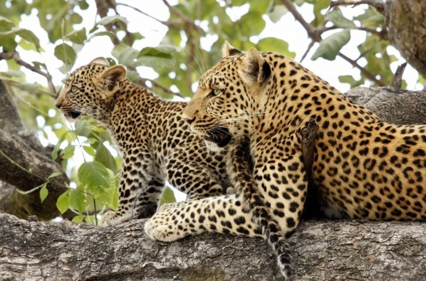 Léopards dans la Linyanti, delta de l'Okavango, Botswana