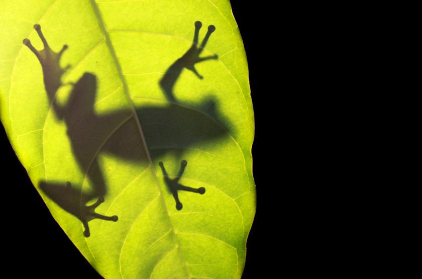 Panama   frog slideshow