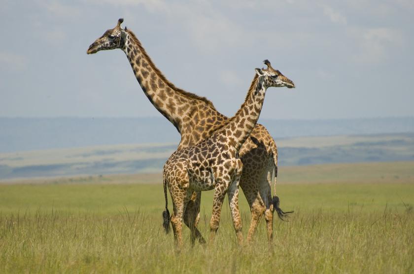Kenya, girafes
