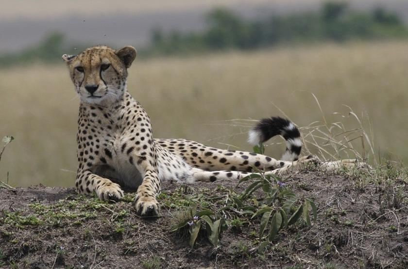 Kenya, guépard