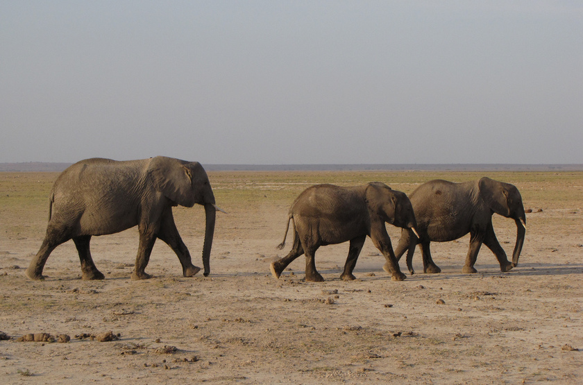 Kenya   amboseli   el phants slideshow