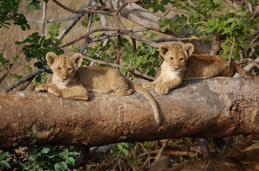 Kenya   tsavo ouest    lionceaux slideshow