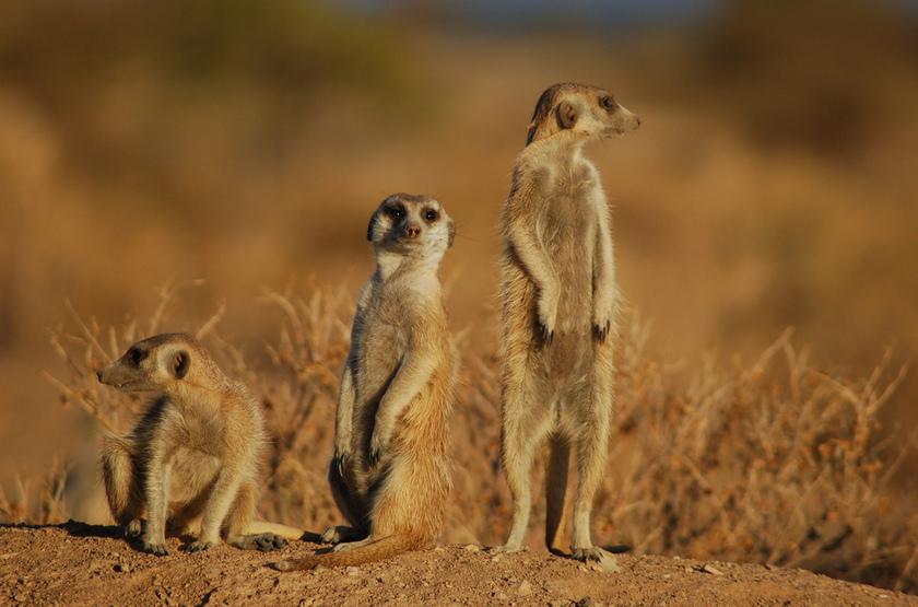 Pan de Makgadikgadi, Botswana, suricates