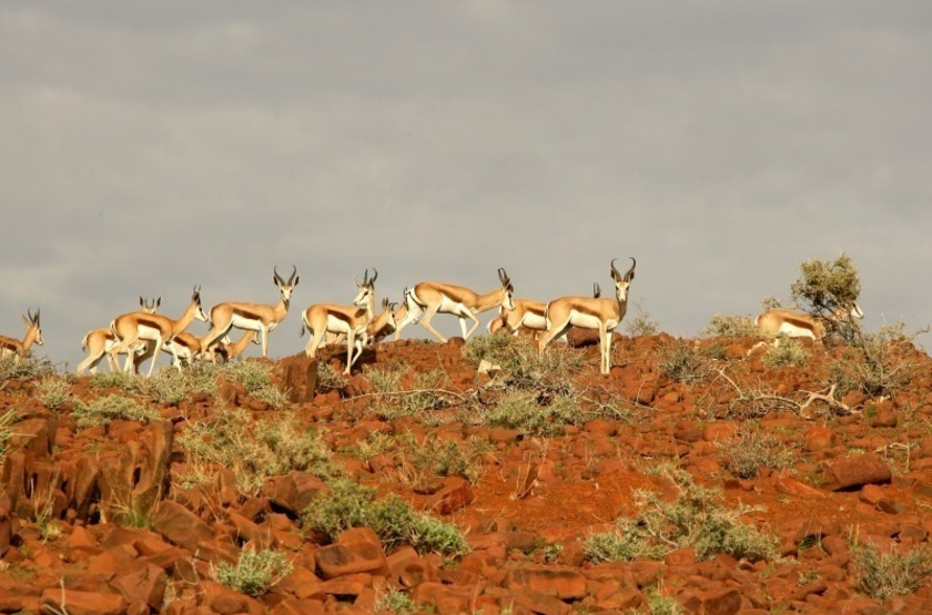 Springboks dans le Damaraland, Namibie