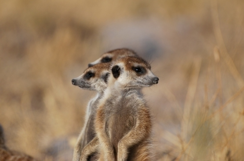 Suricates, Botswana