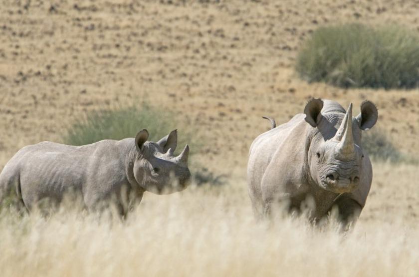 Rhinocéros du désert, Damaraland, Namibie