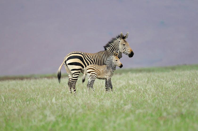 Safari dans le territoire d'Ongava, Namibie