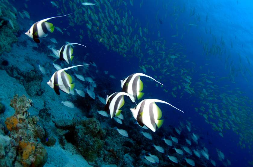 Seychelles   banner fish tony baskeyfield slideshow