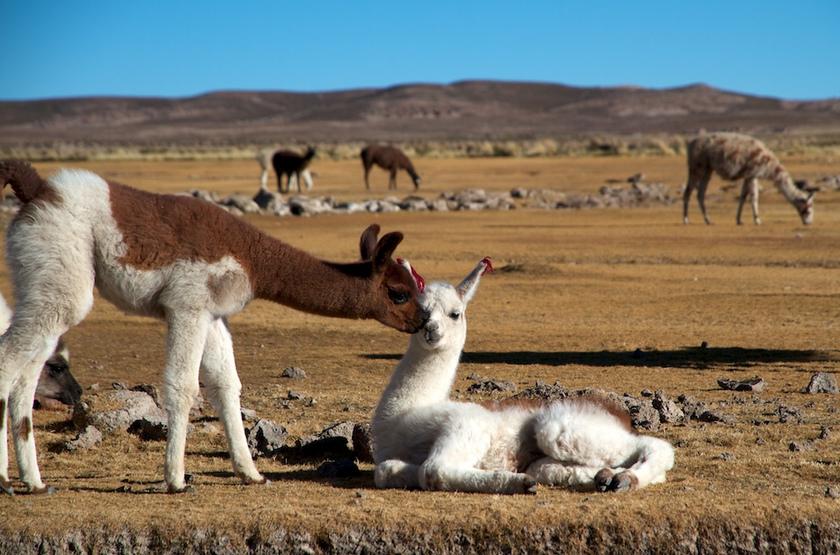 Lamas, Pérou