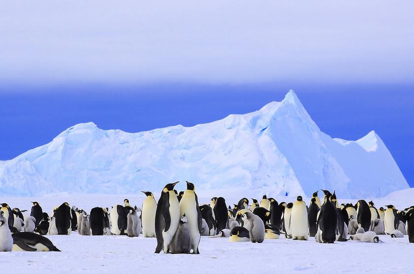 Manchots Empereur, Antarctique