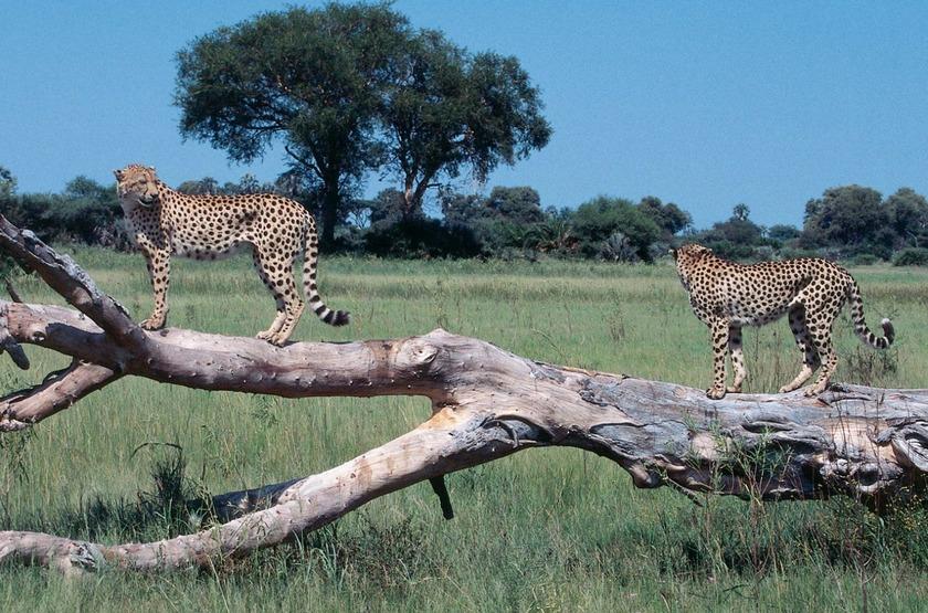 Guépards, delta de l'Okavango, Botswana