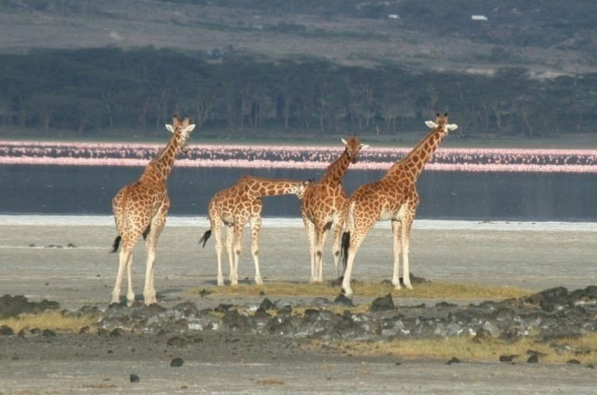 Kenya, Lac Nakuru