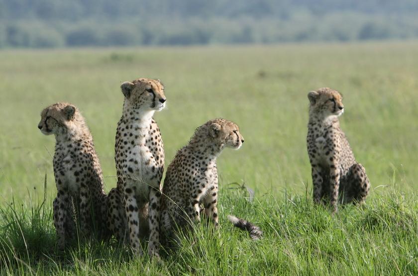 Kenya, Masai Mara, guépards