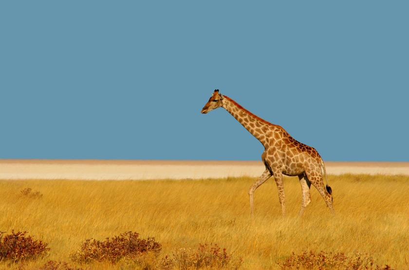 Safari en autotour à Etosha Park, Namibie