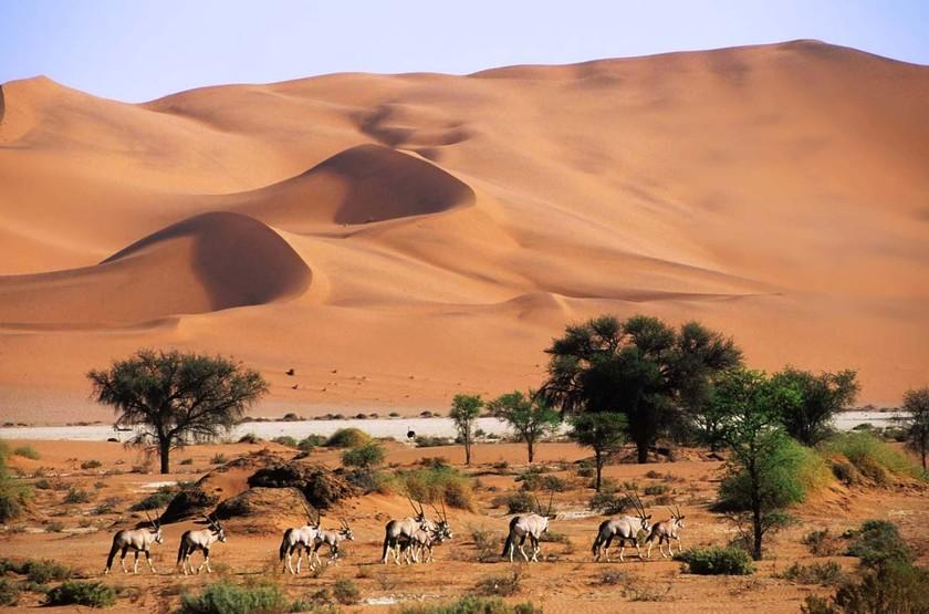 Oryx dans les dunes de Sossusvlei, Namibie