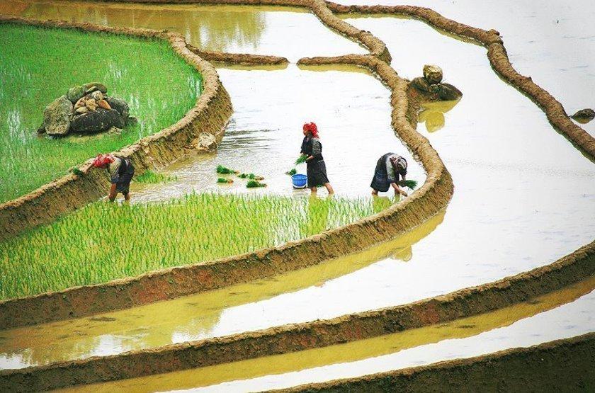 Plantation de riz, Vietnam