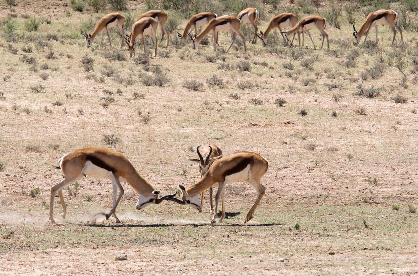 Kagalagadi Transfrontier Park, Afrique du Sud