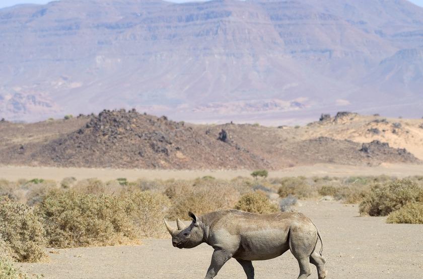 Rhinocéros dans le Damaraland, Namibie