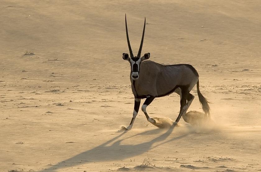 Oryx dans le désert de NamibRand, Namibie