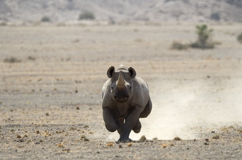 Rhinocéros du Damaraland, Namibie