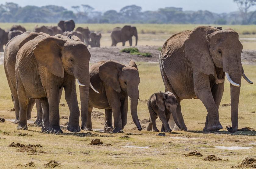 Kenya, Amboseli, éléphants