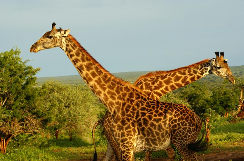 Tanzanie, Serengeti, girafes