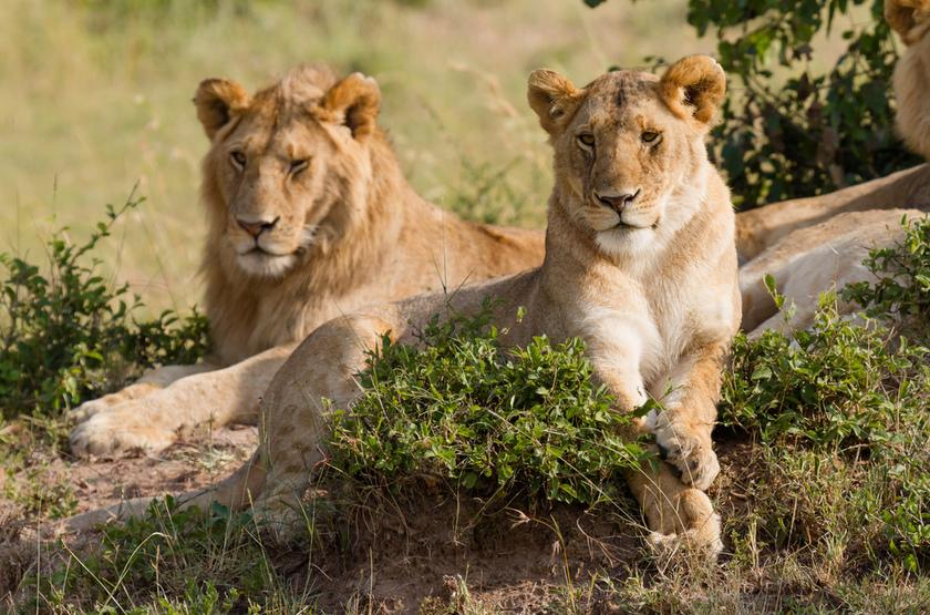 Tanzanie, Serengeti, lions