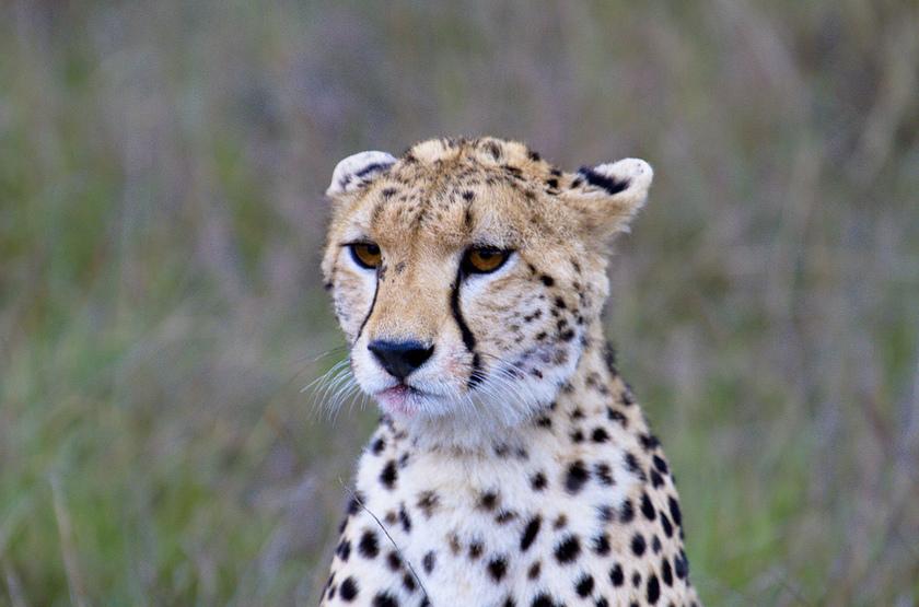 Guépard dans le Serengeti, Tanzanie