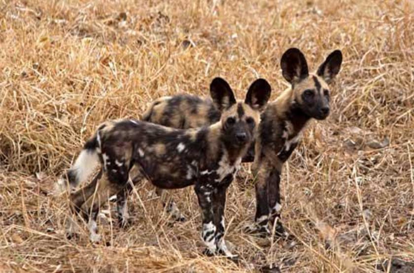 Wild dogs, Tanzanie Sud