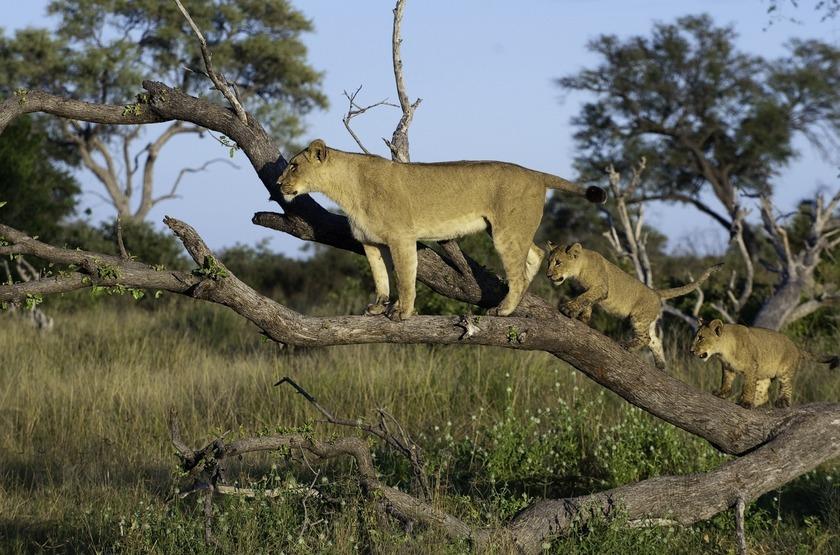 Lionne dans la Savuti, Botswana