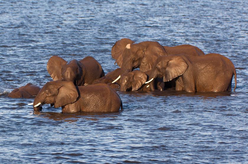 Eléphants dans la rivière Chobe