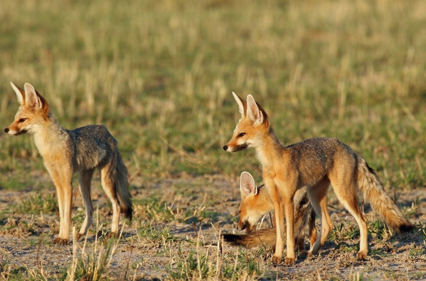 Fox kalahari plains slideshow