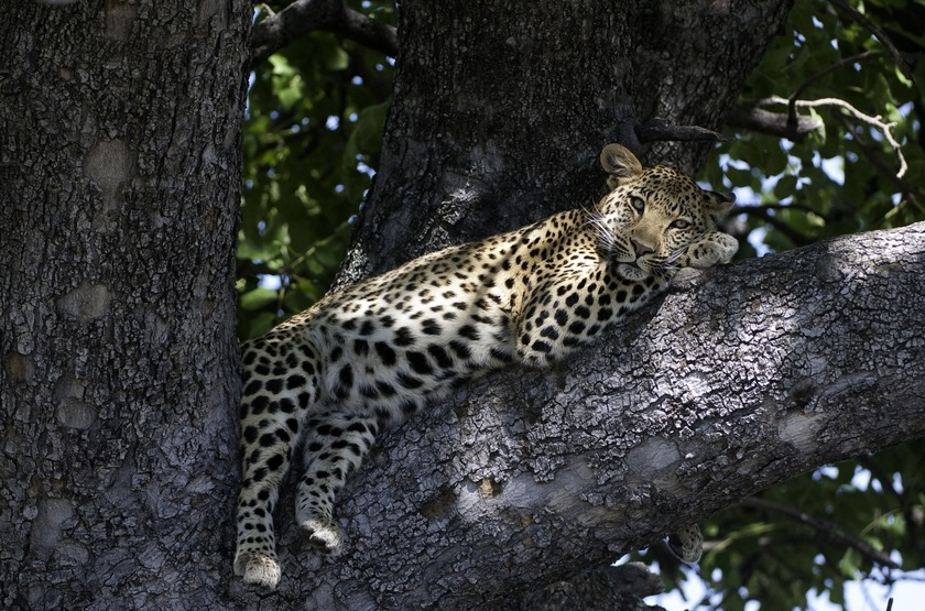 Safari dans l'Okavango, Léopard, Botswana