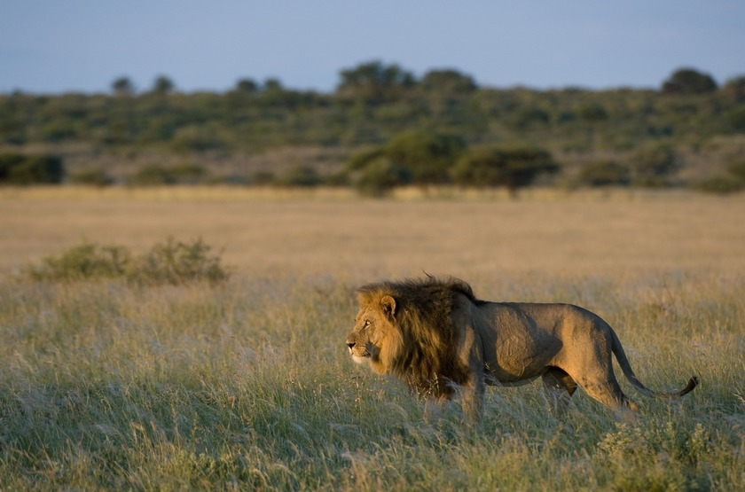 Lion dans la kalahari slideshow