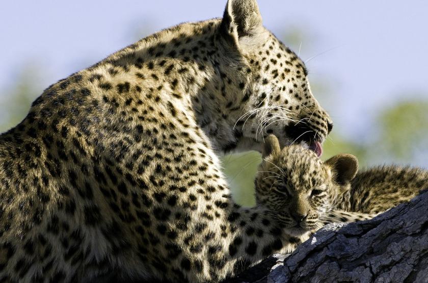 Delta de l'okavango, Botswana, léopards