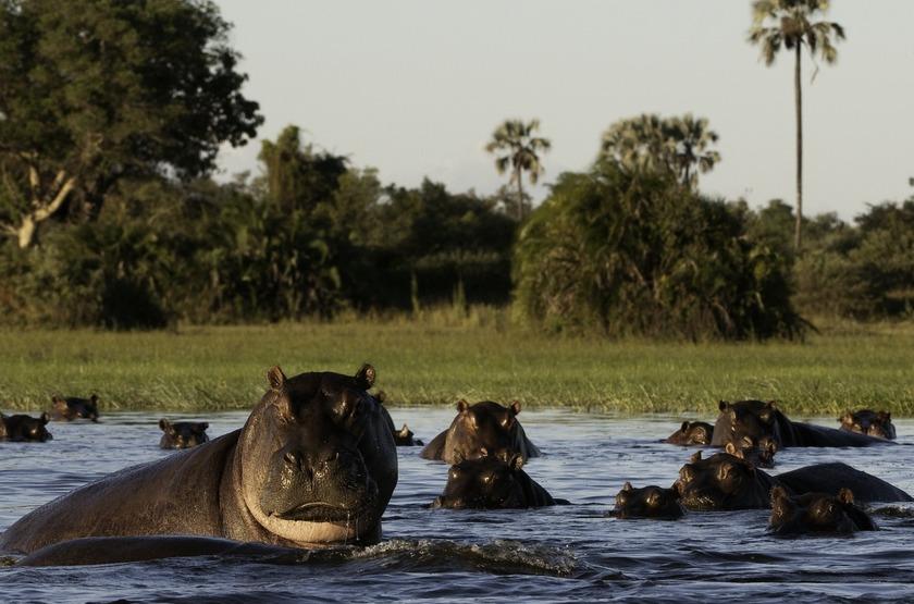 Hippopotames dans la Chobe River, Botswana